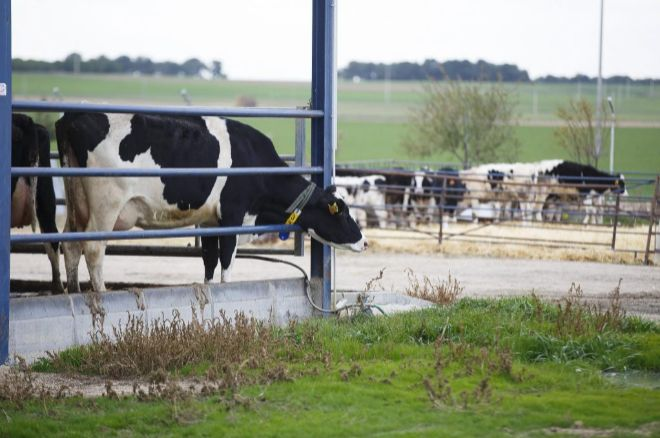 Vacas cantabras pastando. Foto: Ángel Navarrete