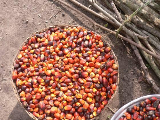 Semillas de aceite de palma.