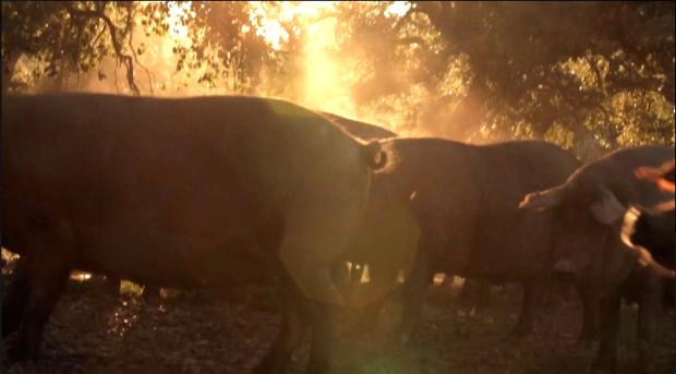 Arturo Pérez. Ibéricos. Cerdos en la dehesa.
